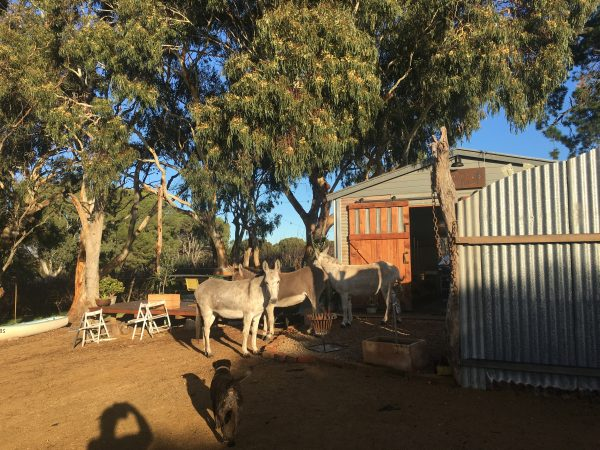 Donkeys in the Shed
